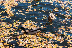 Mallard ducks in an autumn lake. Two mallard ducks in the dark water of an autumn lake. The surface of the lake is covered with a thick layer of dead yellow Royalty Free Stock Photos