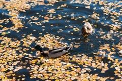 Mallard ducks in an autumn lake Royalty Free Stock Photos