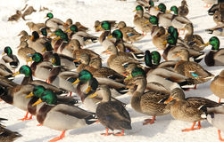 Mallard ducks background. Flock of mallard ducks on snow make a bird background Royalty Free Stock Images