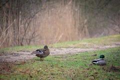 Mallard ducks on a bank royalty free stock image