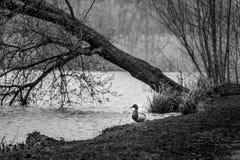 Mallard ducks on a bank stock photos