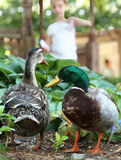 Mallard Ducks - Being Fed by Girl Royalty Free Stock Photography