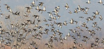 Mallard ducks blast off in a large group. Hundreds of mallard ducks blast off in a large group over fields and meadows in the winter Stock Images