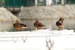 Mallard ducks on a boat Stock Image