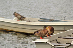 Mallard ducks on boats on the lake in Lilinthgow, Scotland, UK Royalty Free Stock Images