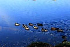 Mallard Ducks on bright blue Water. Royalty Free Stock Photo