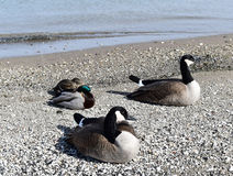 Mallard ducks and Canadian geese. Ducks and geese on sandy shore of lake Stock Photography