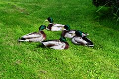 Mallard Ducks In Circle Royalty Free Stock Photography