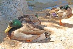 Mallard Ducks. A close-up detailed look at a several mallard ducks resting on a sandy beach Stock Image