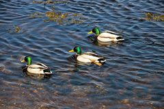 Mallard Ducks on a Coastal River Estuary. Mallard ducks swimming in a coastal river estuary Stock Photo