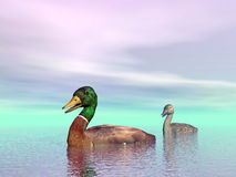 Mallard ducks couple - 3D render Stock Photo