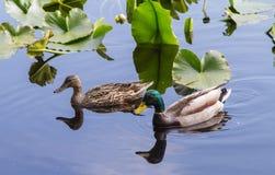 Mallard ducks. A couple of Mallard ducks having a swim in a nearby park in the summer months Stock Photos