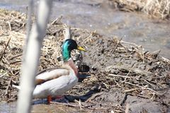 Mallard Ducks Drake & Hen by Ditch. Mallard Ducks Drake & Hen standing beside a ditch full of water Stock Images