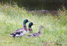 Mallard ducks, 2 drakes and 1 hen, Georgia USA. Three resident mallards on pond in Walton County, GA, USA. Mallards nest on the ground on dry land that is close Stock Photos