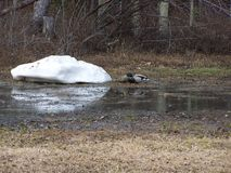 Mallard ducks at the pond. Mallard ducks drinking fresh snow water from a pond on the farm Stock Photos