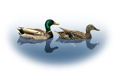 Mallard Ducks. Mallard duck and drake as a nature wildlife concept with male and female ducks mating couple swimming on a lake fading to a white copy space Royalty Free Stock Image