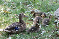 Mallard Ducks. A mallard duck mother, Anas platyrhynchos, with ducklings Royalty Free Stock Photography