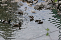 Mallard ducks and ducklings Royalty Free Stock Images