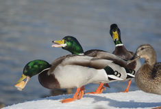 Mallard ducks. Eating the bread Royalty Free Stock Photos