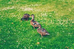 Mallard ducks eating grass in a park. Mallard ducks eating grass in a finnish park called Sorsapuisto the Park with ducks from Tampere, Finland stock images