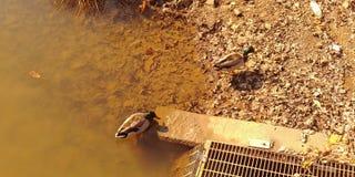 Ducks for a swim. Mallard ducks, fall afternoon swim Royalty Free Stock Photos