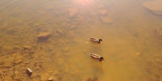 Ducks for a swim. Mallard ducks, fall afternoon swim Royalty Free Stock Image