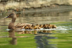 Mallard ducks family. Mother with ducklings swimming on pond ( Anas platyrhynchos Stock Photography