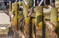 Mallard flying frenzy. Mallard ducks in a feeding frenzy.  The stunning Mallard ducks are all trying to land on the top of the bulk head on the dock of the bay royalty free stock image