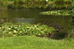 Ducks on a Fishing Lake. Mallard ducks on the fishing lake at Twelve Oaks Farm Royalty Free Stock Images