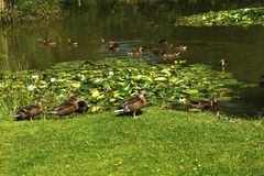 Ducks on a Fishing Lake. Mallard ducks on the fishing lake at Twelve Oaks Farm Stock Image