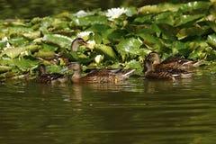 Ducks on a Fishing Lake. Mallard ducks on the fishing lake at Twelve Oaks Farm Stock Images