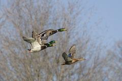 Mallard Ducks In Flight. Ducks flying with trees in background Stock Photos
