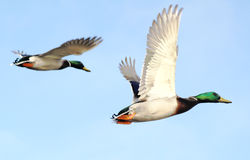 Mallard Ducks In Flight. Two Mallard ducks flying free against a bright blue sky Stock Photos