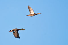 Mallard Ducks in Flight Stock Photos