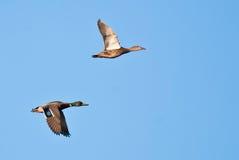 Mallard Ducks in Flight. A Male and Female Mallard Duck in Flight Stock Photos