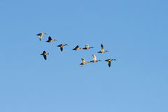 Mallard Ducks In Flight. A flock of Mallard ducks in flight against a blue sky background Royalty Free Stock Images