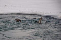 Mallard Ducks in Flight. Over Icy Water Stock Image