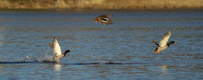 Mallard Ducks in Flight. Mallard Ducks Taking off from lake in Arkansas Royalty Free Stock Photos