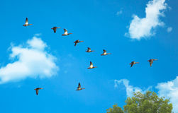 Mallard Ducks In Flight With Tree and Clouds. A group of mallards in flight against a blue sky with clouds and tree Royalty Free Stock Image