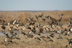 Mallard Ducks. A flock of mallard ducks taking flight Royalty Free Stock Photos