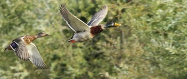 Mallard ducks flying Royalty Free Stock Images