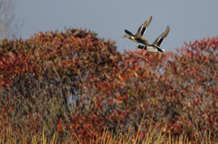 Mallard Ducks Flying Over the Autumn Countryside Stock Photo
