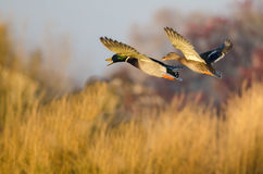 Mallard Ducks Flying Over the Autumn Countryside Royalty Free Stock Image
