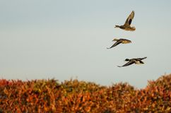 Mallard Ducks Flying Over the Autumn Countryside. Three Mallard Ducks Flying Over the Autumn Countryside Royalty Free Stock Photo
