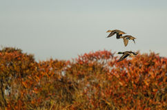 Mallard Ducks Flying Over the Autumn Countryside. Three Mallard Ducks Flying Over the Autumn Countryside Stock Photos