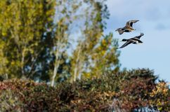 Mallard Ducks Flying Past the Autumn Trees Stock Photography
