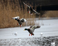 Mallard ducks flying. In the sky Royalty Free Stock Images