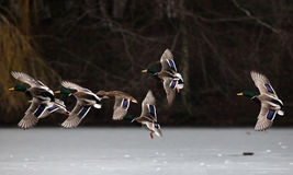 Mallard ducks flying. In the sky Stock Photography