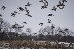 Sky full of Mallards. Mallard ducks flying up from morning feeding Royalty Free Stock Photos