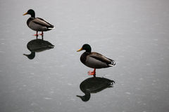 Mallard ducks flying. Walking on ice Royalty Free Stock Image